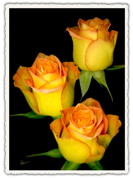 Triple Yellow Rose. Frameable Note Cards by the artist, Mary Ahern