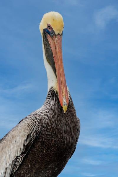 Watchful - Brown pelican fine-art photography prints