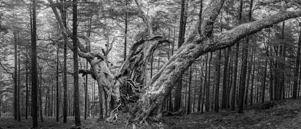 Print: A Haunted Tree Looms In The Forest