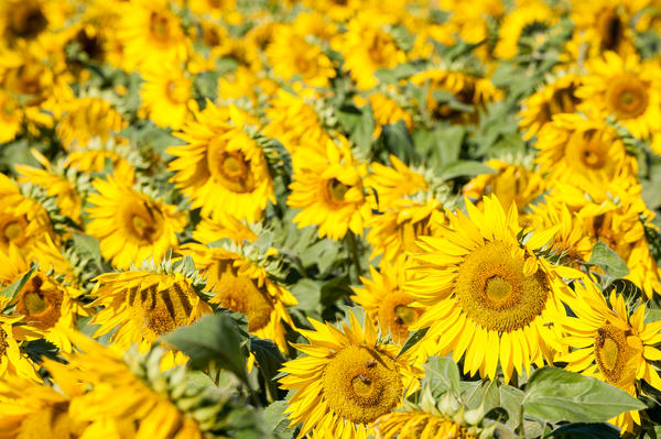 Sunflower Field, Imperial Valley, California