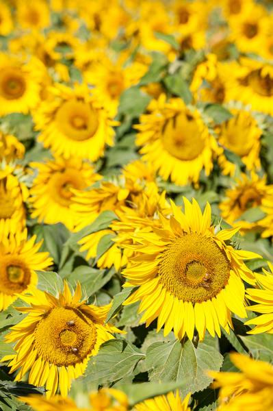 Sunflower Field Vert, Imperial Valley, California