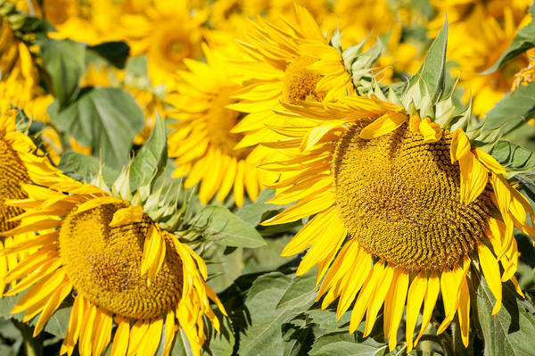 Sunflower Field Detail, Imperial Valley, California