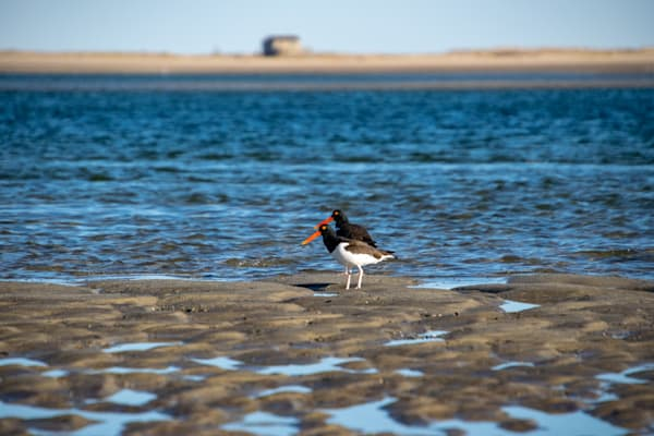 Oyster Catchers Photography Art | The Colors of Chatham