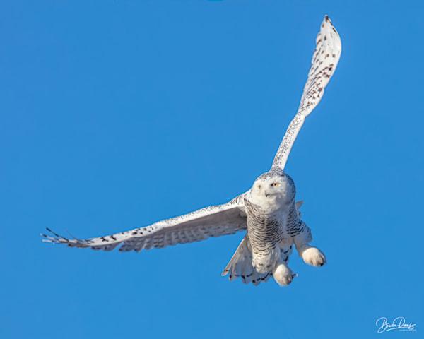snowy Owl in Flight II