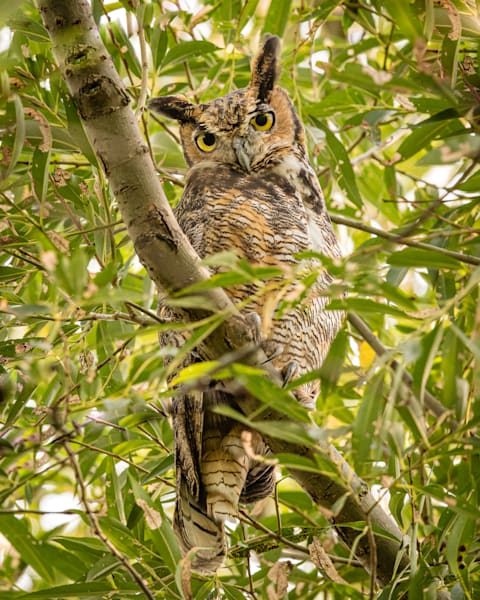 Great Horned Owl Look-Down