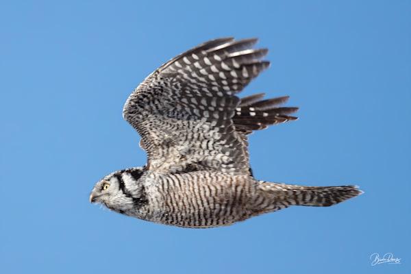 Northern Hawk Owl in flight II
