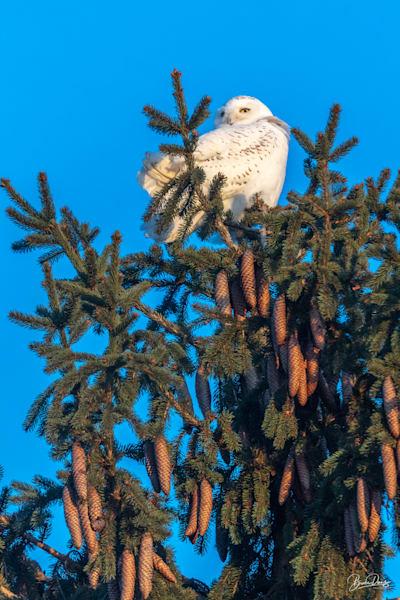 Snowy Olw atop a spruce tree