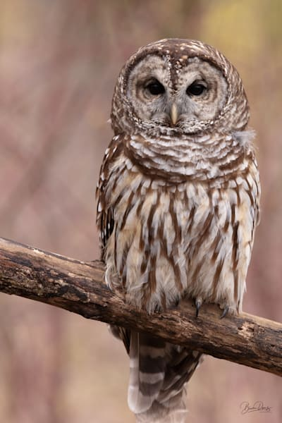 Barred Owl on Perch