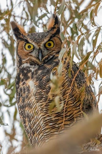 Great Horned Owl Look-Down II