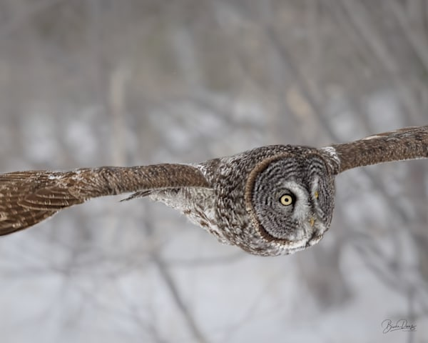 Great Gray owl Fly-By