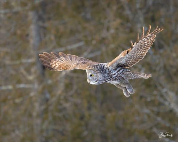 Great Gray Owl on the Hunt II