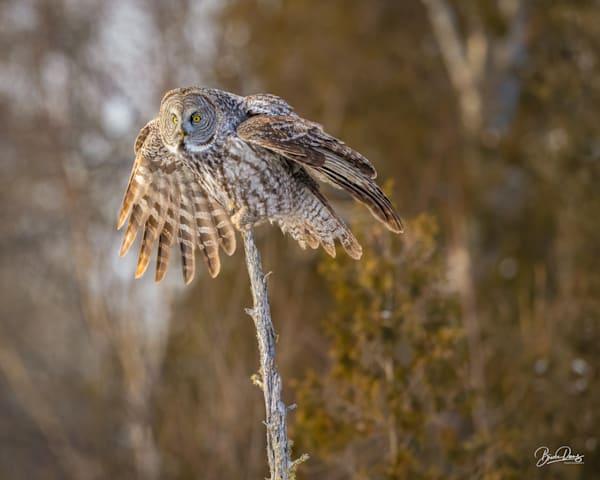 Great Gray Owl Landing II