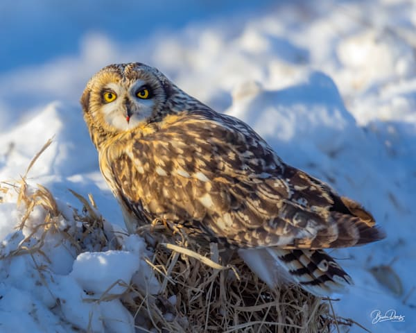 Short Eared Owl with lipstick