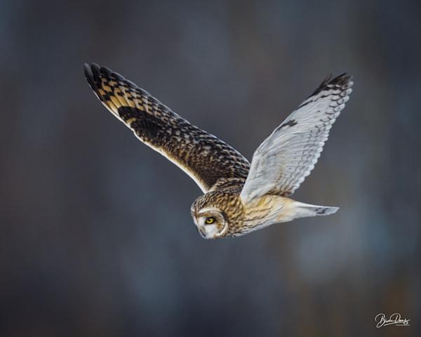 Short Eared owl in Flight II