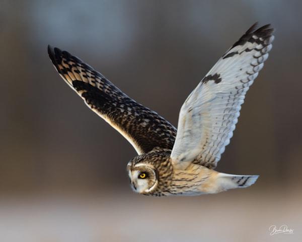 Short Eared Owl in Flight III