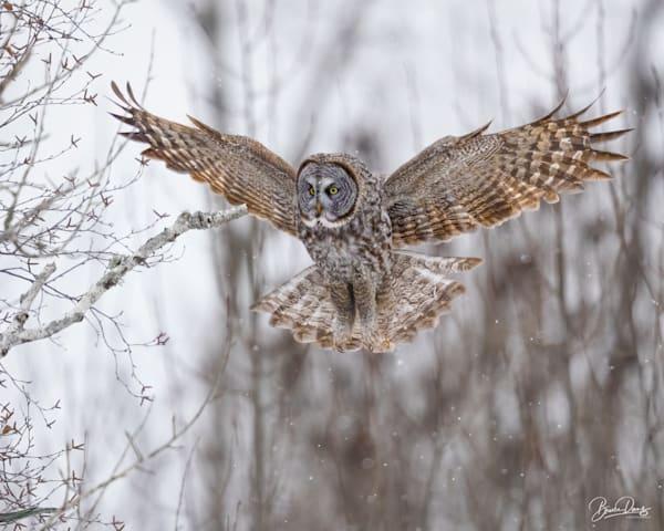Gret Gray Owl Landing