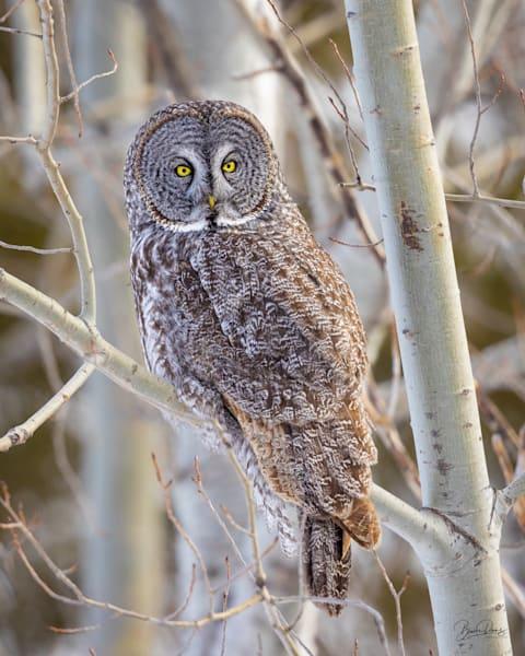 Great Gray Owl in the Poplars II
