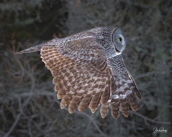 Great Gray Owl in flight II