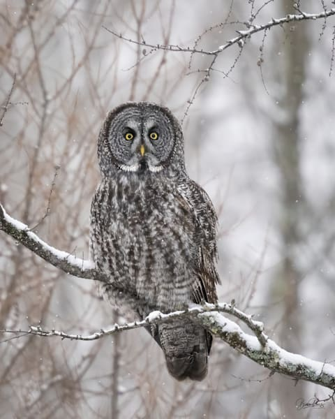 Great Gray Owl Stare-Down
