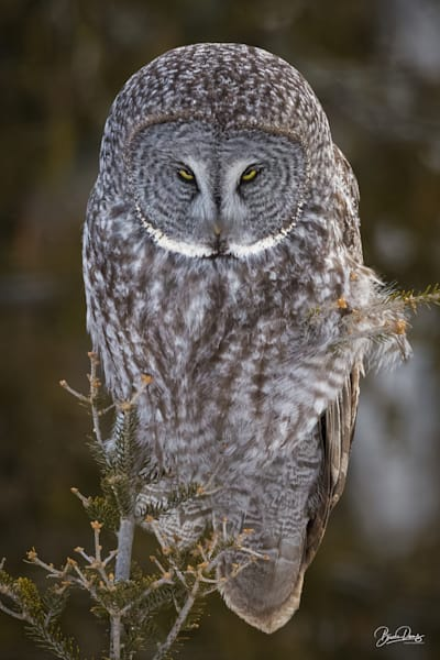 Great Gray Owl The Look