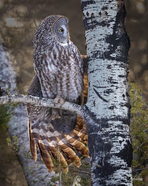 Great Gray Owl Stretch