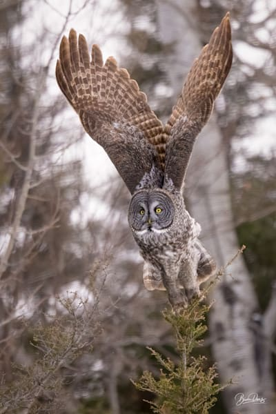 Great Gray Owl Lift-Off