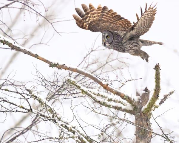 Great Gray Owl Lift-Off II