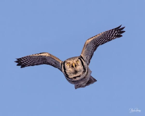 Northern Hwk Owl in flight
