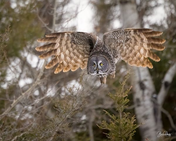 Great Gray Owl puts on the brakes