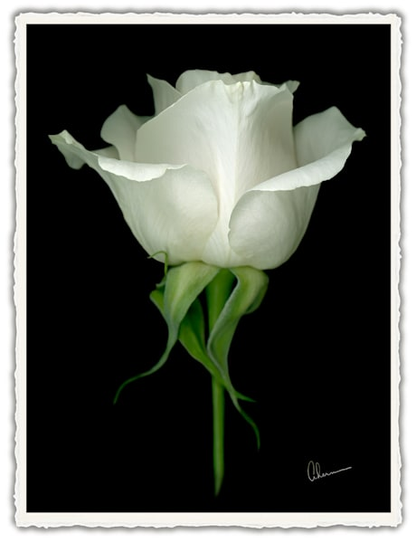 Single White Rose on a Black Background.  Frameable Note Cards by the artist, Mary Ahern