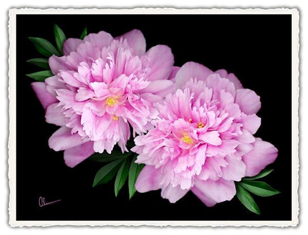 Kansas Peonies.  Frameable Note Cards by the artist, Mary Ahern