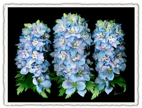 Delphinium Trio.  Frameable Note Cards by the artist, Mary Ahern