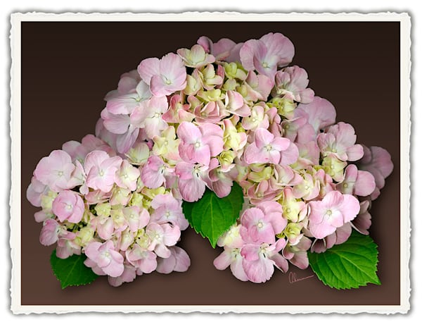 Pink Hydrangea on a Brown Background.  Frameable Note Cards by the artist, Mary Ahern