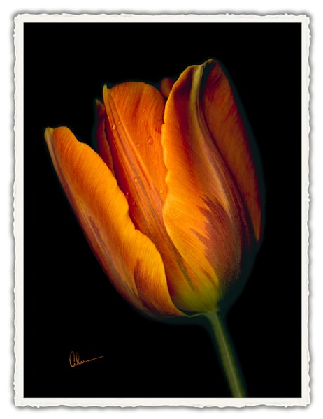 Conversations - Orange Tulip #2. Frameable Note Cards by the artist, Mary Ahern