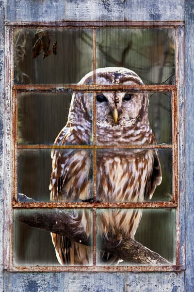 Owl in my Window