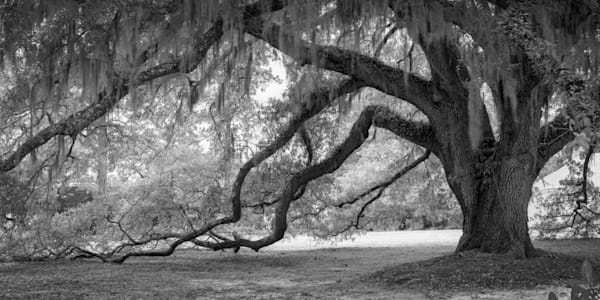 Old Oak with Branches Touching Ground