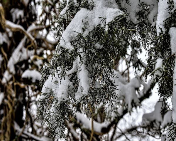 Blanket Of Snow Photography Art   N2 the Woods Photography - Nature and Wildlife Artwork