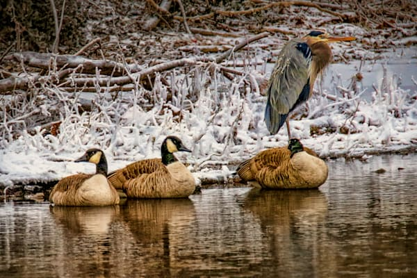 Huddling   Geese And Blue Heron 1402 Art | Koral Martin Fine Art Photography