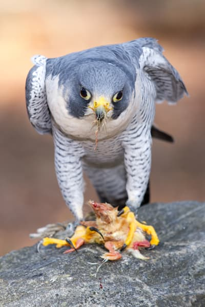 Peregrine Falcon Eating a Young Chicken