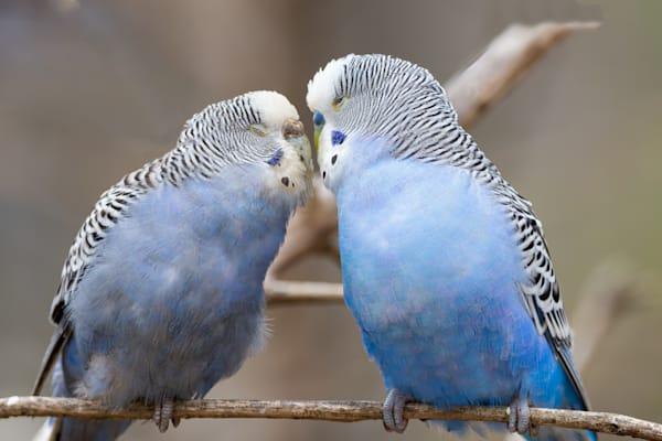 Loving Parakeets Photography Art   Cuda Nature Art