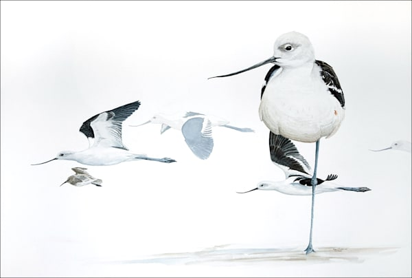 Winter_Avocets