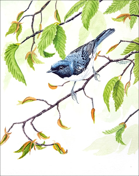 Black Throated Blue Warbler Photography Art | Drew Smith Photography, LLC