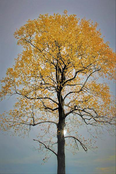 Autumn Tree Art | Cincy Artwork