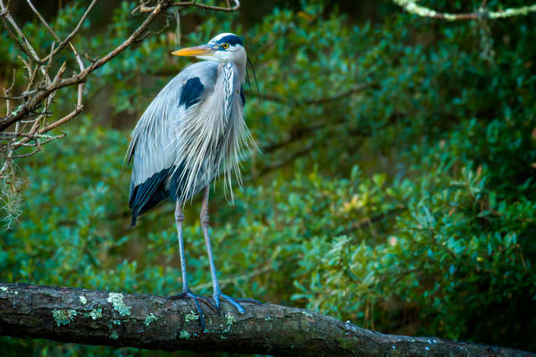 Great Blue Heron Ready for Breeding Season
