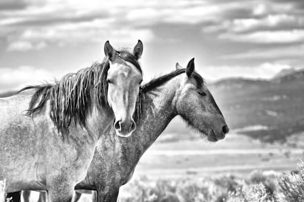 Two wild horses black and white print