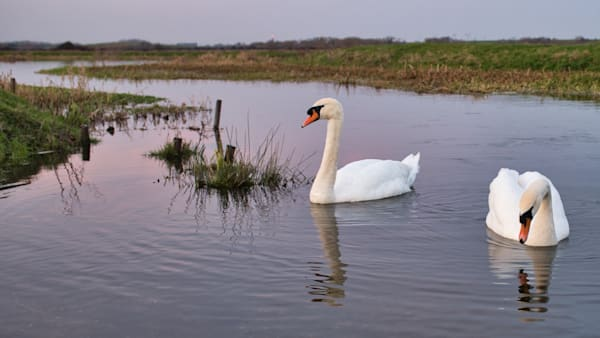 Swans On Staines Moor Art   Martin Geddes Photography