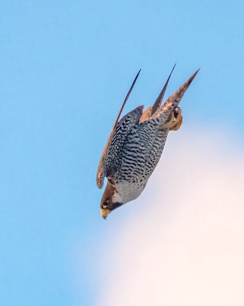Peregrine Falcon in for the Kill