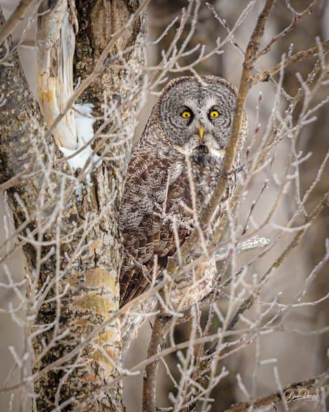 Great Gray Owl Peeking Out