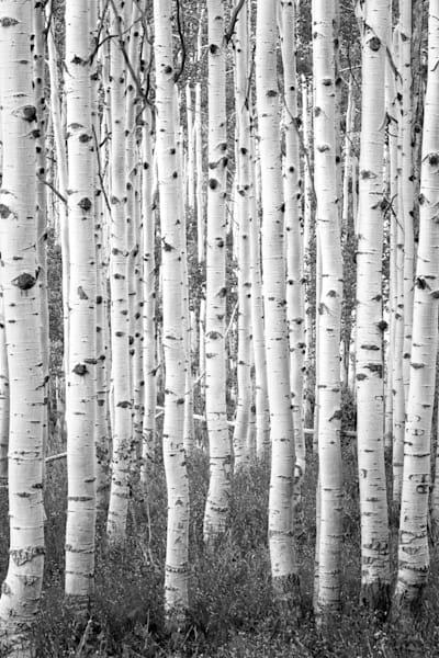 black and white aspen vertical