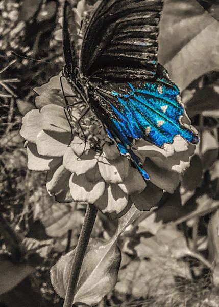 Blackswallowtail Art | Sunrise Galleries